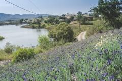 Portugal's Algarve wild lavender in Spring