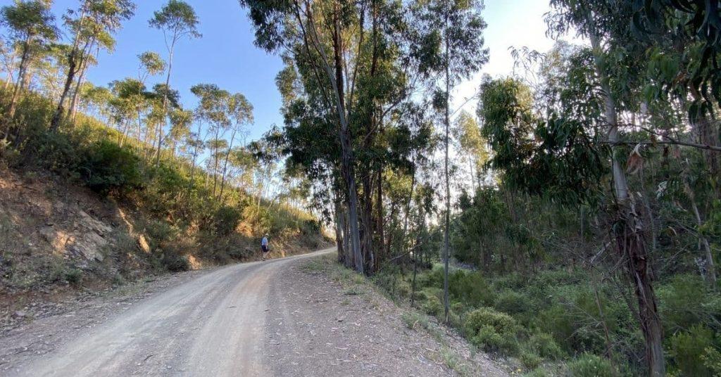 eucalyptus trees lining dirt track